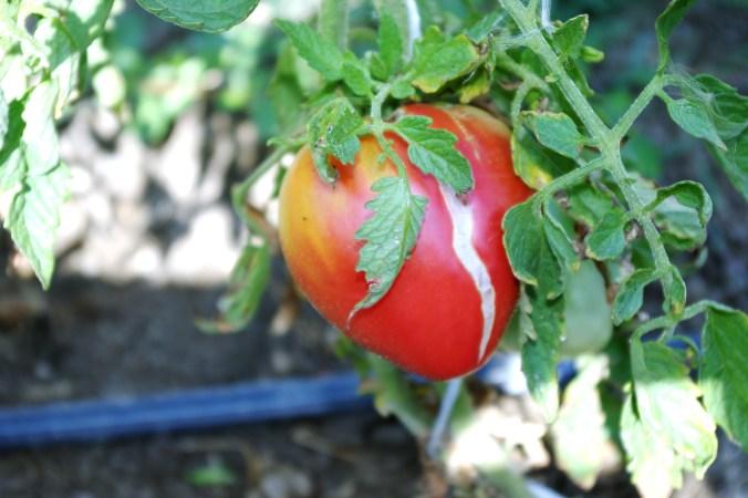 Pomodoro cuore di bue presso le coltivazioni del Podere Stuard - Summer School 2015 di Alma La Scuola di Cucina