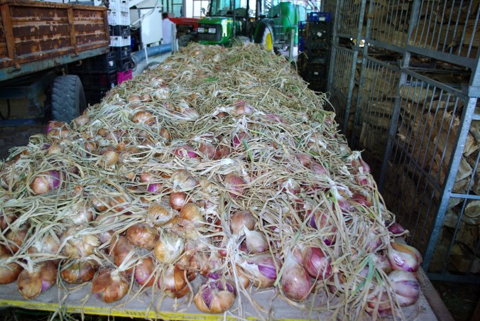Carro di cipolle napoletane all'azienda agricola -  Alma Scuola di Cucina - Summer School 2015